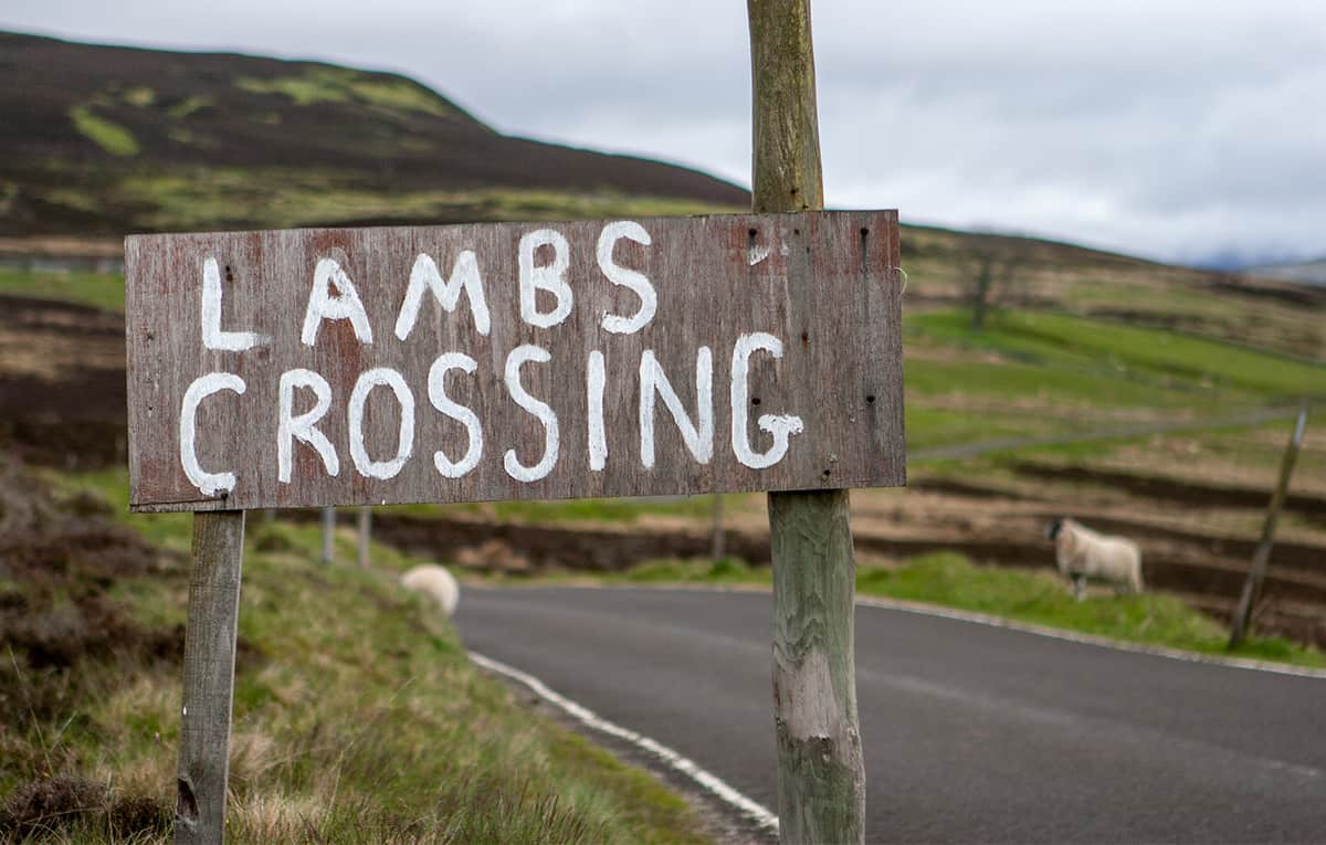 Linksverkehr - Schafe können Straßenseire wechseln