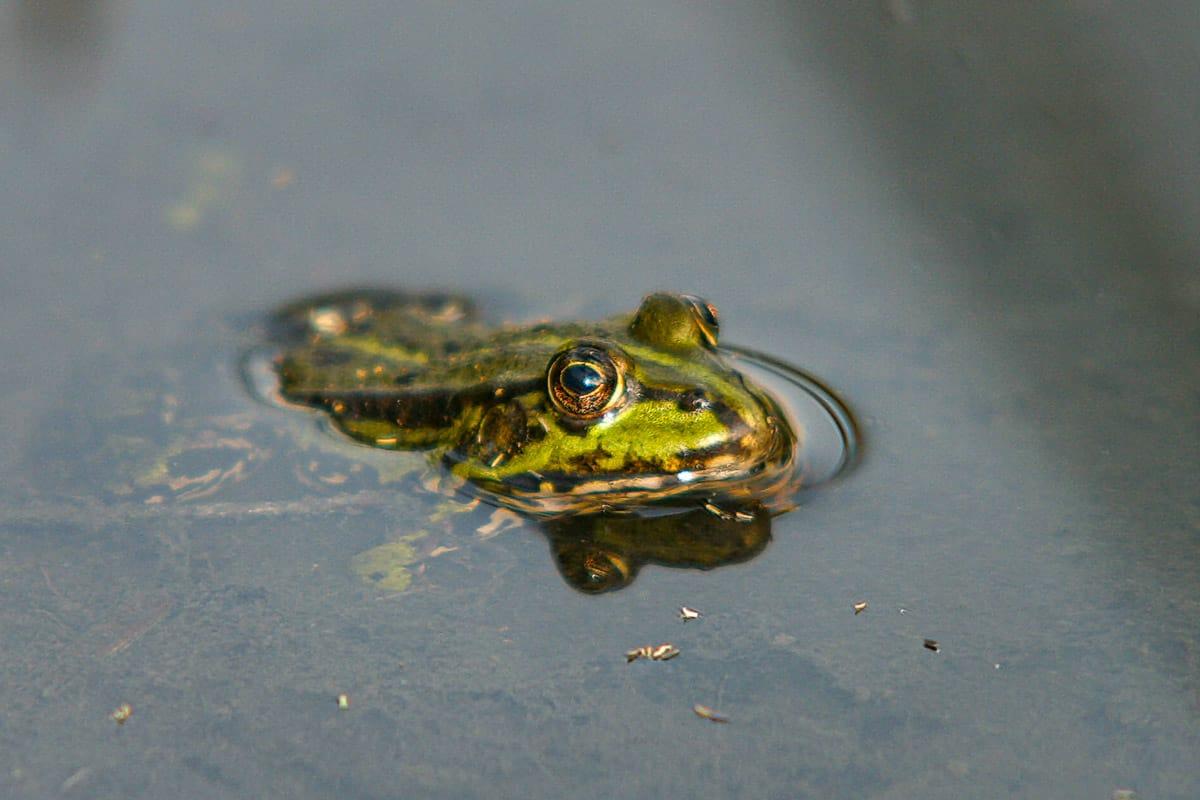 Frosch im Park von Schloss Westerwinkel