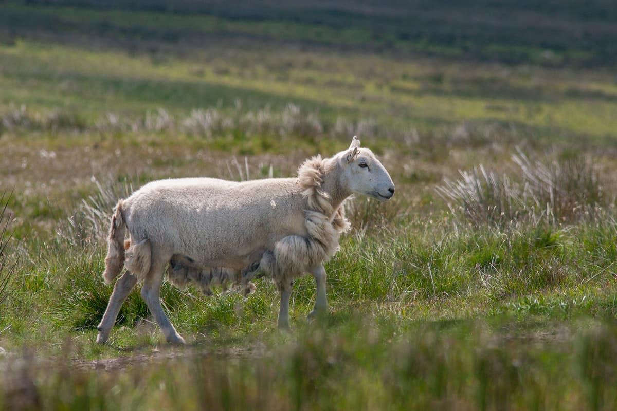 Schafe bei Pentre Ifan