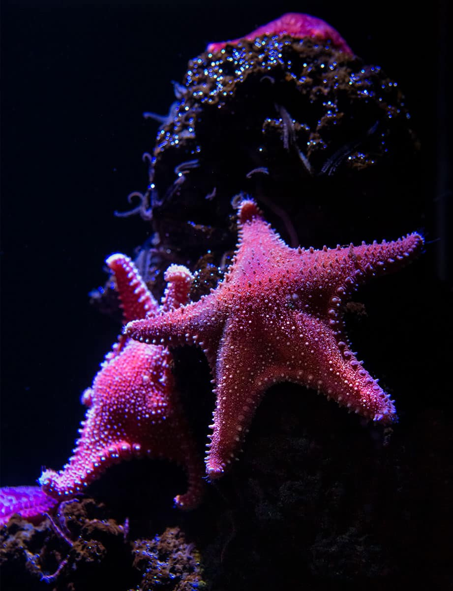 Seesterne im Aquarium im Ozeaneum Stralsund